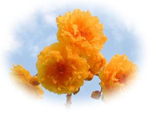 Cochlospermum regium