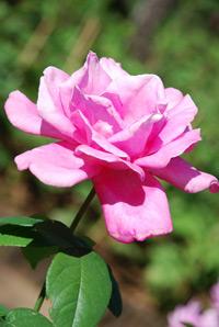 กุหลาบชมพู หมายถึง ความรักที่อ่อนโยน นุ่มนวล และงดงาม