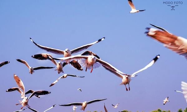 ภาพฝูงนกนางนวลกำลังบิน ถ่ายโดย กนกวรรณ มูลไธสง (MODO FOTO)