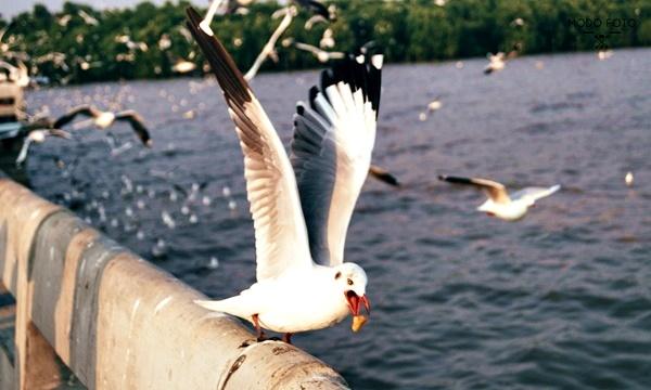ภาพนกนางนวลที่กำลังจะคาบกากหมู ถ่ายโดย กนกวรรณ มูลไธสง (MODO FOTO)