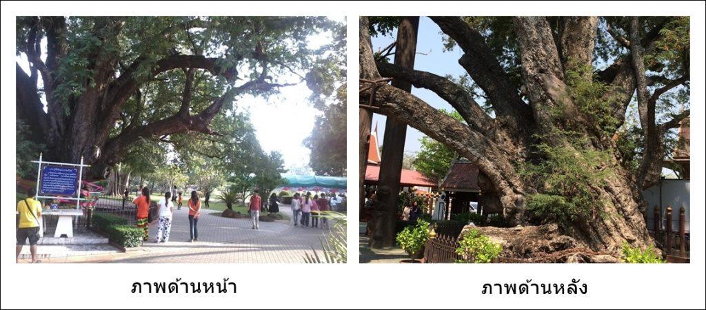 ภาพต้นมะขามยักษ์ ภาพโดย ชลธิชา บุญประเสริฐ