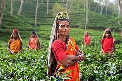 ภาพเกษตรกรผู้ปลูกชา