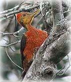 ทำไมนกหัวขวานจึงเคาะต้นไม้